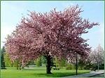 Sakura Imperial